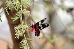 Red Butterfly. This beautiful red colored butterfly was a treat to the eyes royalty free stock photos