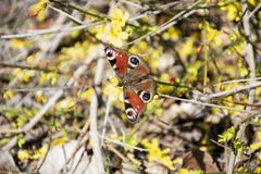 Peacock butterfly on branch in nature, closeup photography. Red Butterfly on branch in nature, Peacock butterfly closeup photography royalty free stock photos
