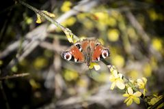 Peacock butterfly on branch in nature, closeup photography. Red Butterfly on branch in nature, Peacock butterfly closeup photography stock image