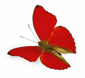 Red butterfly in flight (Cymothoe sangaris) Royalty Free Stock Photography