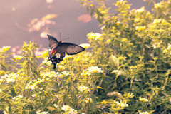 Red butterfly flying over Hedge flowers. Stock Photography