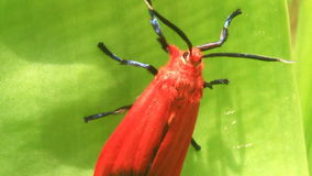 Red butterfly on green leaf stock footage