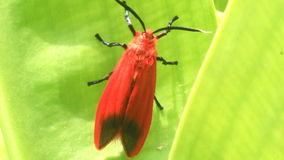 Red butterfly on green leaf stock video footage