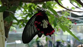 Red butterfly hanging from a tree branch Royalty Free Stock Photos