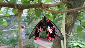 Red butterfly hanging from a tree branch Stock Images