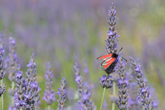 Red butterfly on Lavender flowers Royalty Free Stock Image