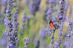 Red butterfly on Lavender flowers Royalty Free Stock Photo