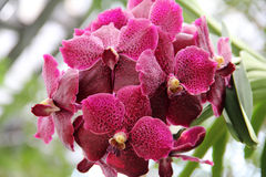 Red butterfly orchid with dark red spots Royalty Free Stock Photos
