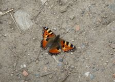 Red Butterfly Resting on the Ground Stock Photography