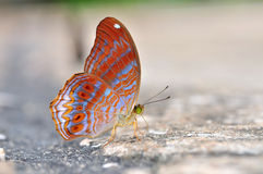 Red butterfly (royal assyrian) Stock Photo