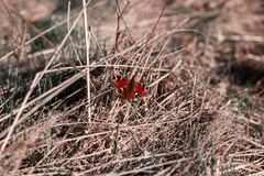 A red butterfly sitting isolated on grass. Butterfly sits on straw.