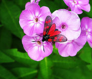 Red butterfly sitting on a pink flower. Black and red insect sitting on a hydrangea flowers with green leaves in the background Royalty Free Stock Photos