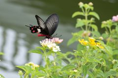 Red butterfly swarming on flowers in the garden