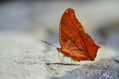 Red butterfly (Tawny Rajah, Charaxes bernardus). On road Stock Photography