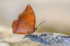 Red butterfly (Tawny Rajah, Charaxes bernardus). On road Royalty Free Stock Photos