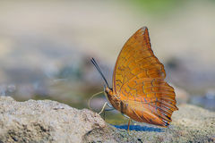 Red butterfly (Tawny Rajah, Charaxes bernardus). On road Stock Image