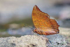 Red butterfly (Tawny Rajah, Charaxes bernardus). On road Stock Photo
