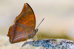 Red butterfly (Tawny Rajah, Charaxes bernardus). On road Stock Photos