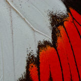 Red butterfly wing Royalty Free Stock Photography