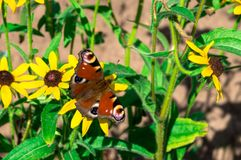Red butterfly on the yellow flower. Of the green garden Royalty Free Stock Images
