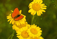 Red butterfly on yellow flowers Stock Photo