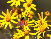 Red butterfly and yellow flowers Stock Images