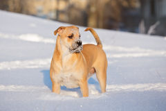 Red ca de bou dog outdoors in winter. Ca de bou dog in winter Stock Images