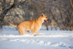 Red ca de bou dog outdoors in winter Royalty Free Stock Image