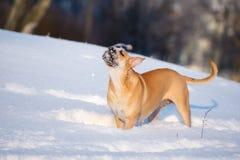Red ca de bou dog outdoors in winter. Ca de bou dog in winter Stock Image