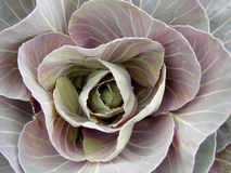 Red Cabbage. A flawless cabbage plant blushes from the morning sun royalty free stock images