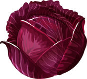 Red Cabbage. Red Cabbage, Scotch kale as a vector illustration royalty free illustration