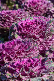 Red cabbage close up. A red cabbage close up Stock Images