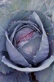 Red cabbage closeup. (full frame Stock Photos
