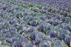 Red Cabbage Field Royalty Free Stock Images