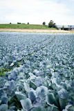 Red cabbage on field in summer outdoor Stock Photo