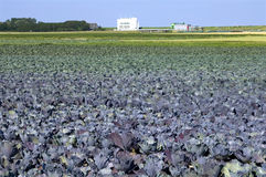 Red cabbage field, waterworks, Netherlands Stock Images