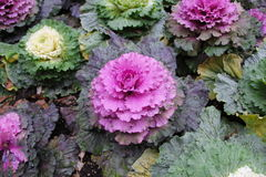 Red cabbage flowers stock image