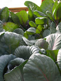 Red cabbage in a greenhouse Stock Photography