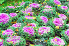 Red cabbage growing in the garden Royalty Free Stock Image