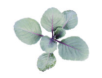 Red cabbage. Isolated on a white background Stock Photos