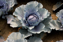 Red cabbage, Kinner red Stock Image