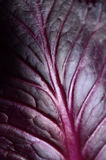 Red cabbage leaf Royalty Free Stock Images