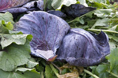 Red Cabbage Leaves royalty free stock photo