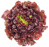 Red cabbage lettuce head Stock Photo
