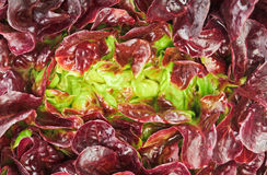 Red cabbage lettuce head background Royalty Free Stock Photos