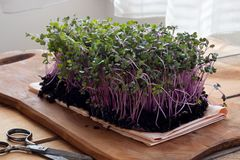 Red cabbage microgreens on a wooden table.  stock image
