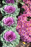 Red Cabbage and Pink Mums Stock Photography
