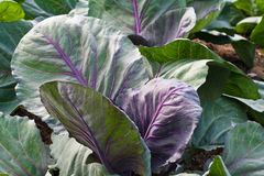 Red cabbage plant Royalty Free Stock Photography