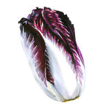 Red cabbage radicchio isolated on white Royalty Free Stock Images