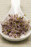 Red cabbage sprouts. Stock Photos